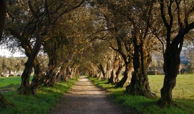 olivos y aceites ginart oleas