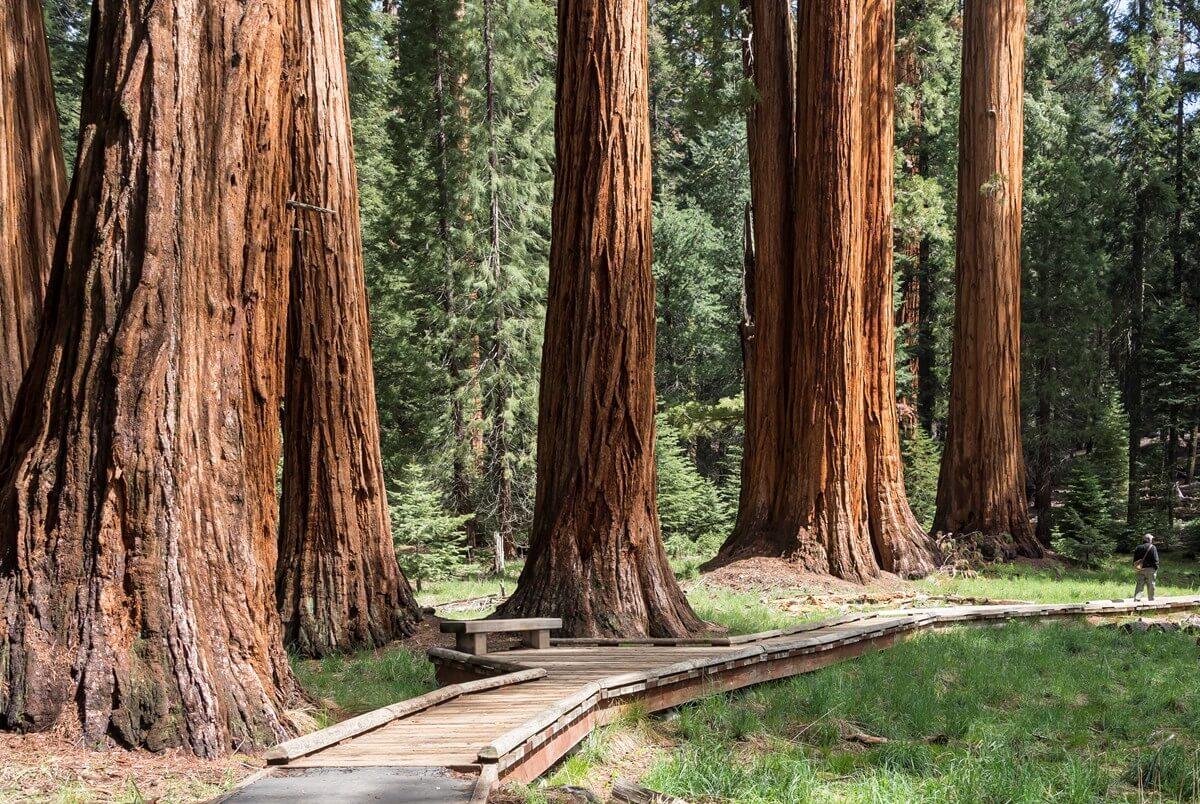Sequoia Ginart Oleas Articulo arboles (1)