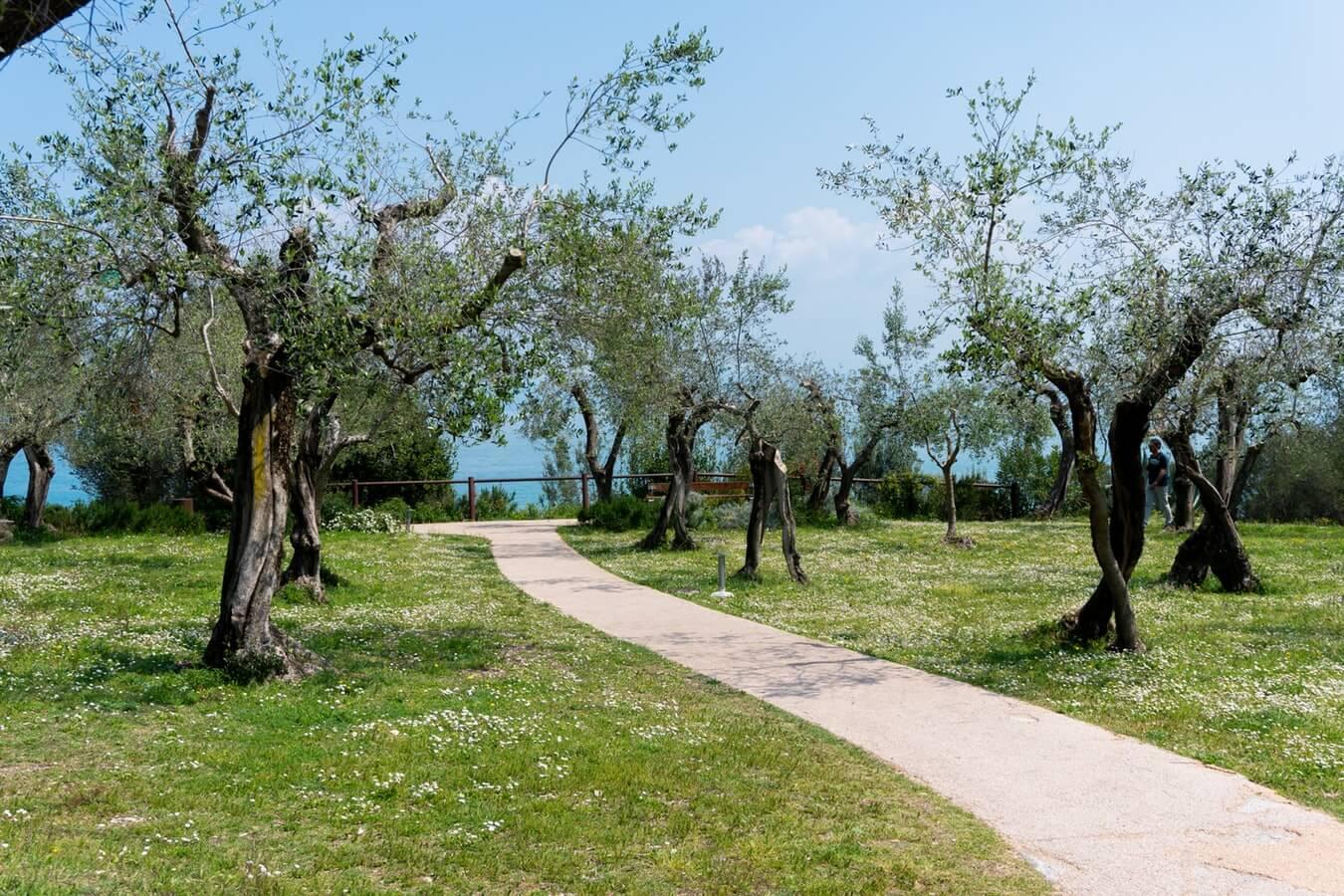 Olivos en un camino plantados Ginart Oleas
