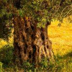 6 Cosas Que Debes Saber Sobre los Olivos Centenarios