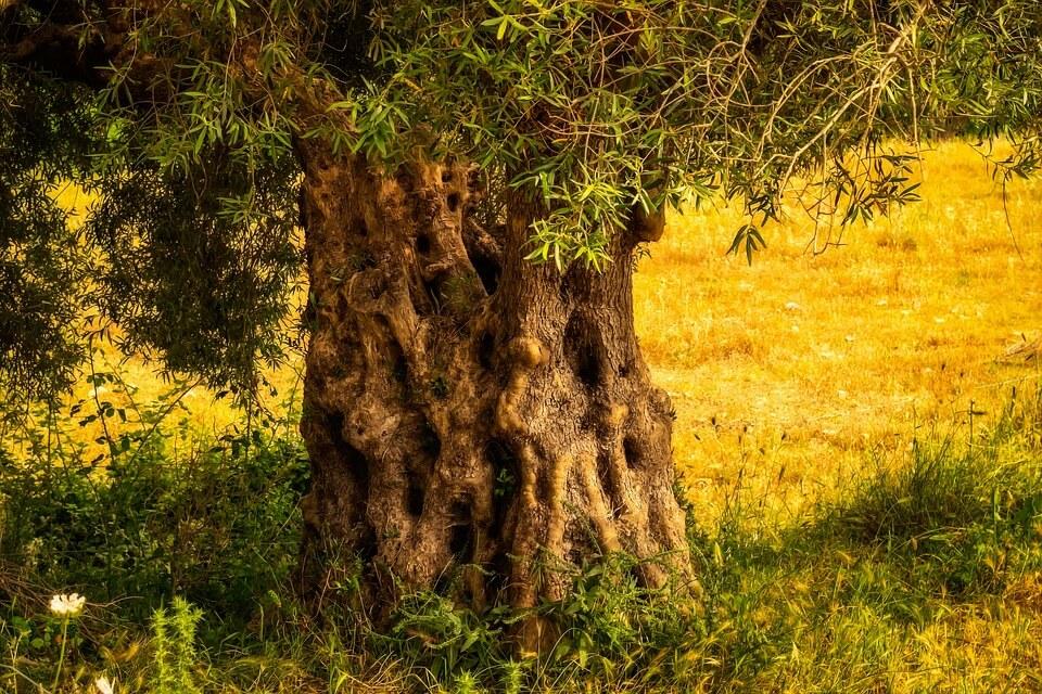 Plantar un Olivo en Casa Ginart Oleas