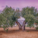Cómo Plantar un Olivo en tu Jardín