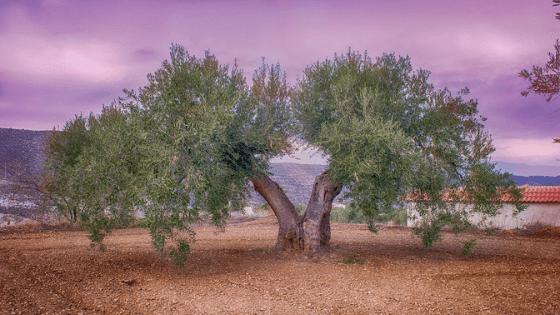 Portada Plantar Olivo en Casa Ginart Oleas