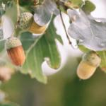 La Encina (Quercus) y su Importancia en la Península Ibérica