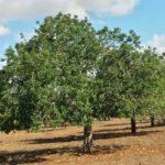 El Árbol de Moda: El Algarrobo