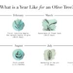 Todo Sobre el Olivo Que Vas a Comprar (Olea Europaea)