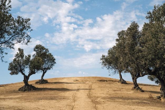Olea en campo seco Ginart Oleas