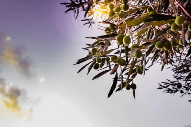 Ramas de Olivos contra el cielo Ginart Oleas