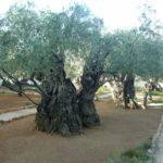 Los Olivos Milenarios Españoles: Patrimonio Agrícola de la Humanidad