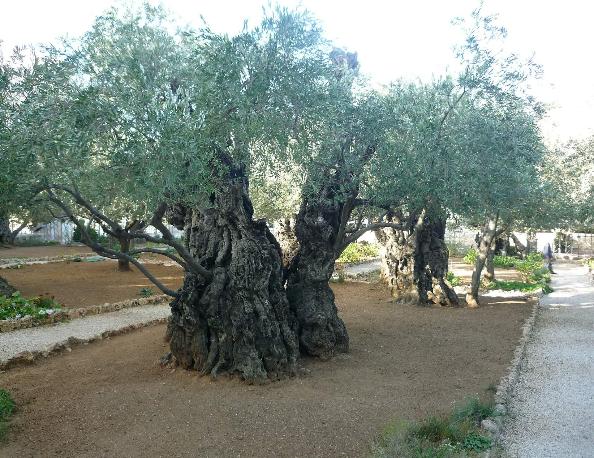 Olive Trees Portada El Senia Ginart Oleas