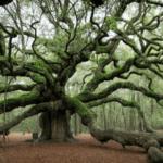 Descubre Este Roble de 400 Años de Edad