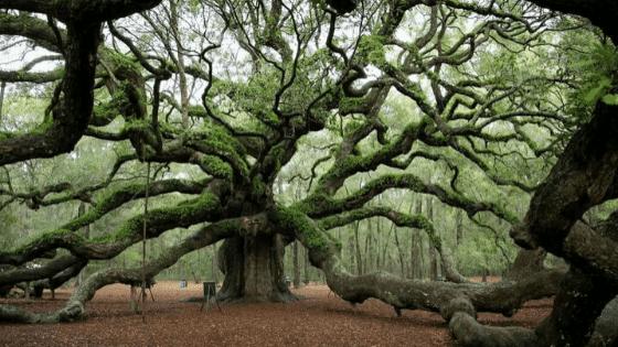 Quercus Roble Antiguo Ginart Oleas