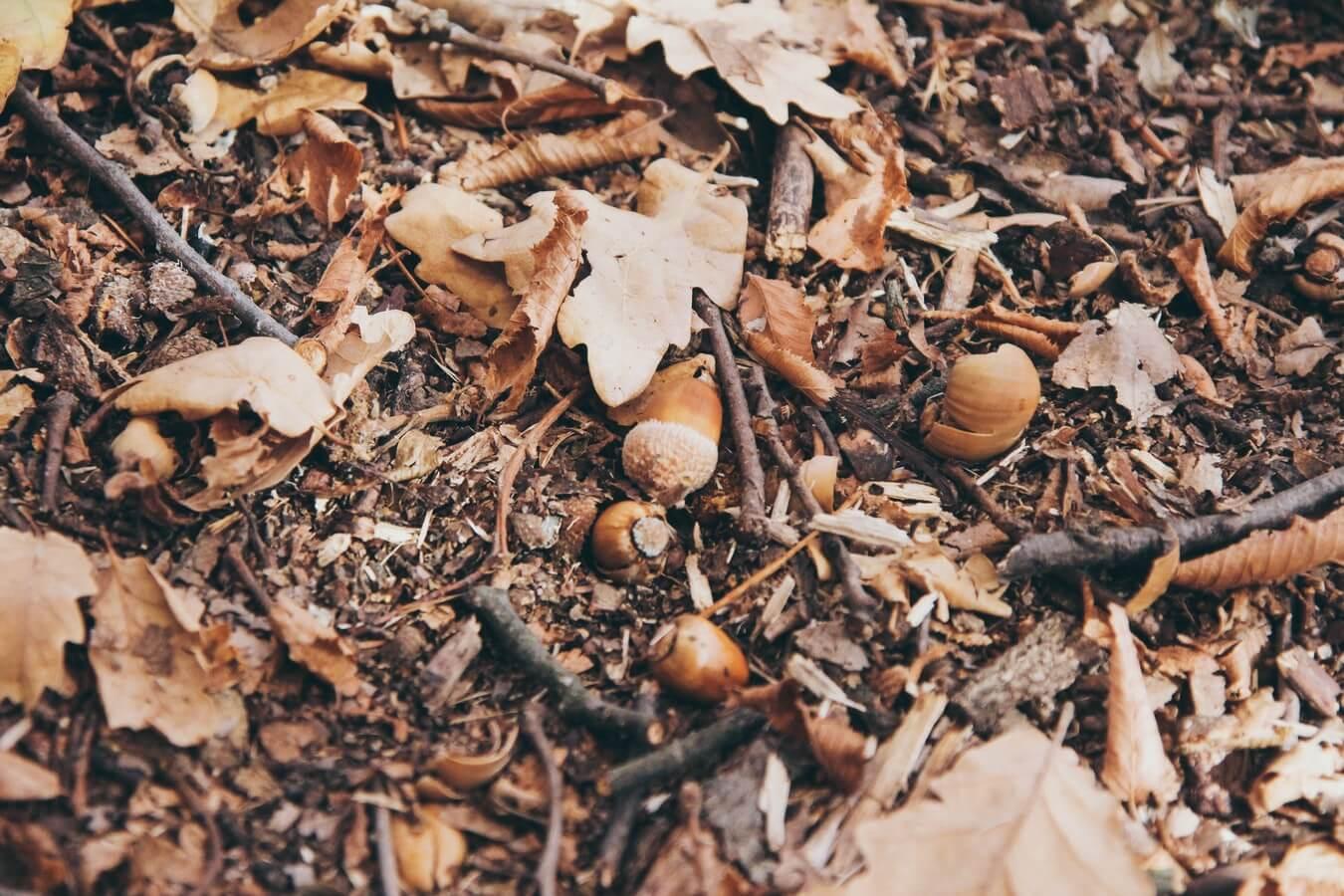 Bellota para plantar encina ejemplar Ginart Oleas