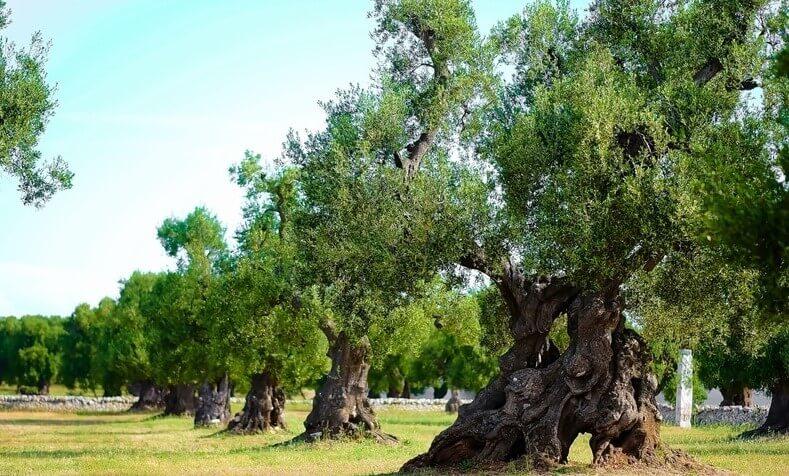 Olivos Centenarios Ginart Oleas Como Plantarlos en Casa