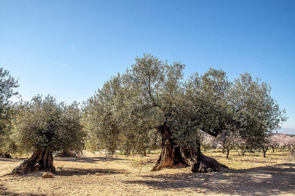 Olivos Milenarios Ginart Oleas del Senia