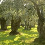 Cómo Plantar un Olivo en Tu Jardín: Qué Debes Saber