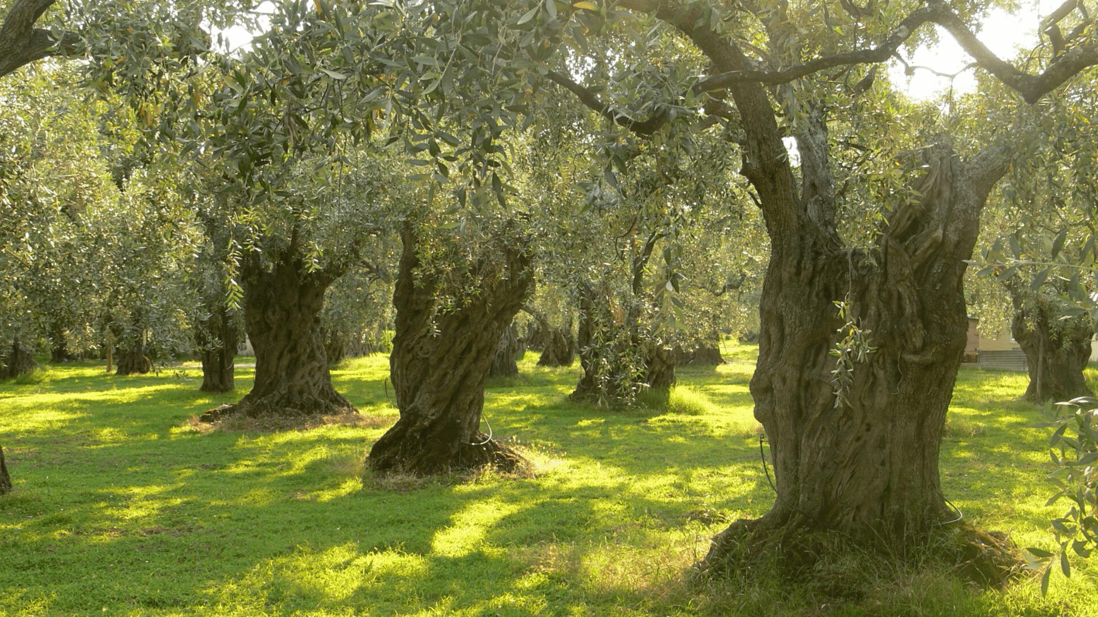 Portada como plantar tu olivo en casa Ginart Oleas